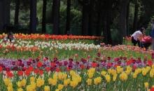 신앙촌 봄꽃축제