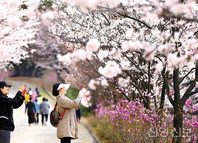 신앙촌 벚꽃