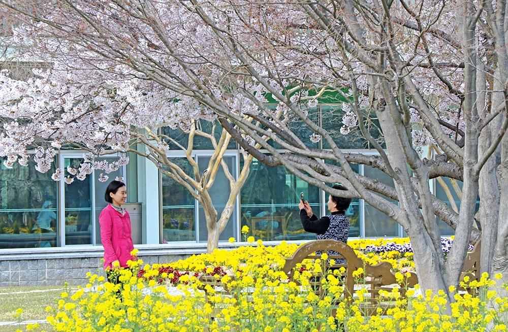신앙촌 벚꽃과 유채꽃