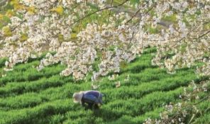 신앙촌 농장 보리밭에 핀 벚꽃