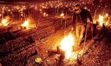 포도밭에 불내고, 사과나무 얼리고 이상 한파에 유럽 과수농가 비상