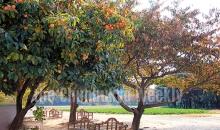 신앙촌 주택 앞 감나무
